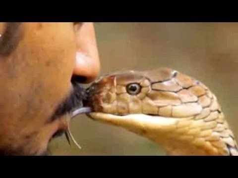 Man playing with king Cobra Snack Actack with Human king