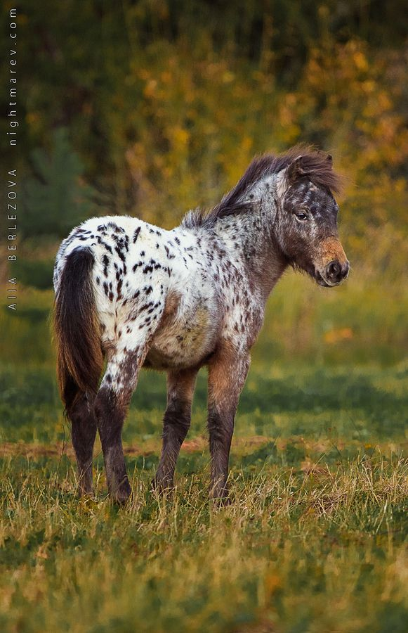 A P April Sun By Alla Berlezova On 500px Oh My Goodness I Want This Pony With Images Horses Appaloosa Horses Pretty Horses