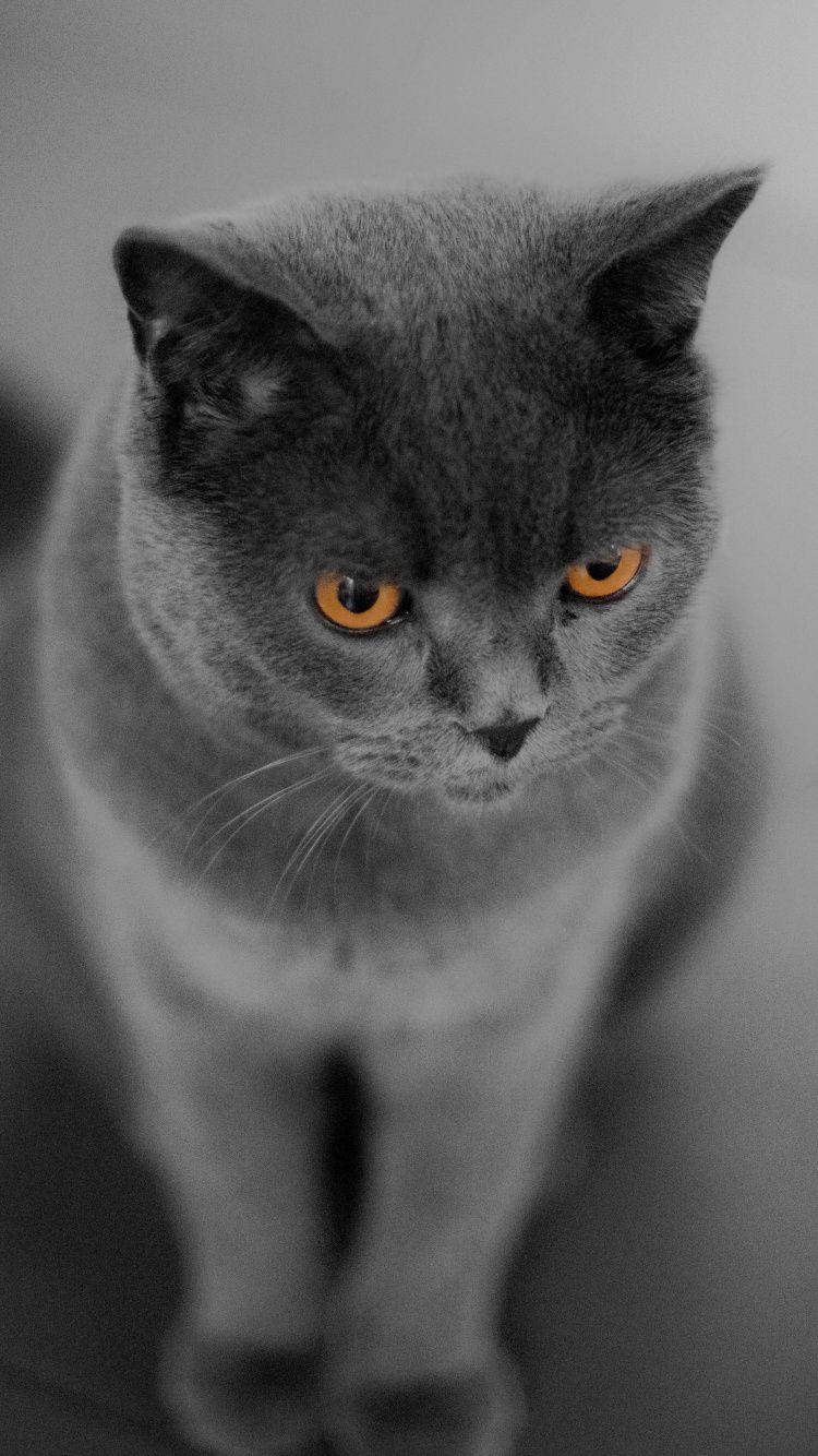 British Shorthair Cat Orange Eyes