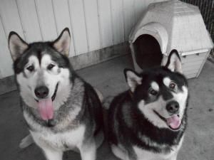 Adopt Cody On Alaskan Malamute Malamute Dog Dogs
