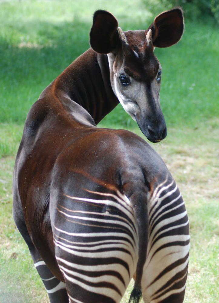 Okapi Forest Giraffe Zebra Giraffe Mammal Animal Pendant Necklace