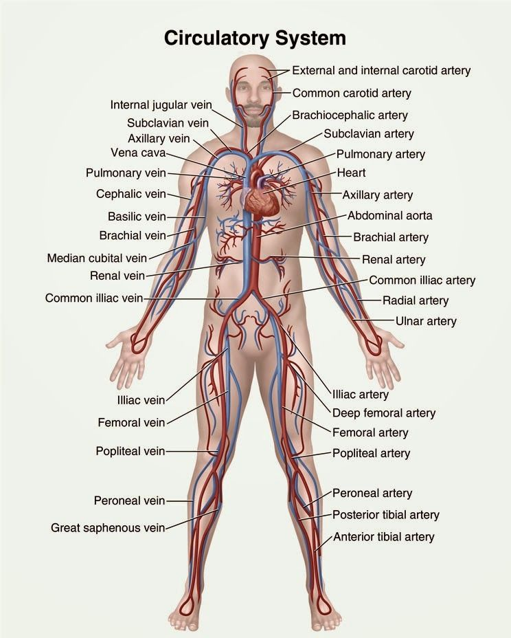 Human&Animal Anatomy and Physiology Diagrams: Circulatory system ...
