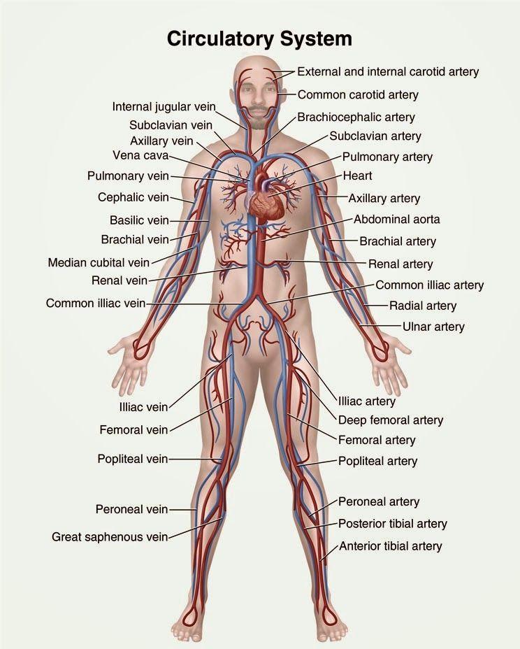 Humananimal anatomy and physiology diagrams circulatory system humananimal anatomy and physiology diagrams circulatory system diagram ccuart Gallery
