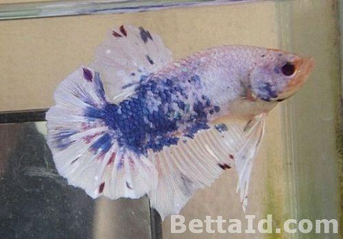 Jual Grosir Ikan Cupang Hias Tangerang Betta Id Ikan Cupang Betta Ikan