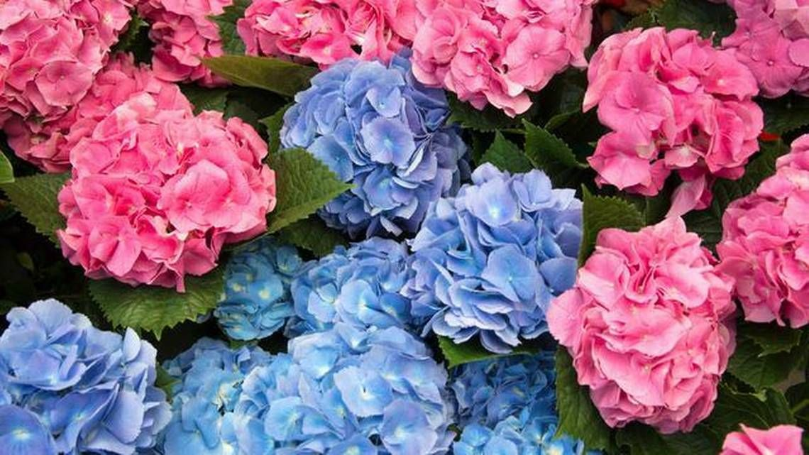 Neil Sperry The Challenges Of Growing Hydrangeas Growing Hydrangeas Texas Gardening Hydrangea