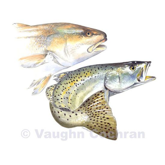 Speckled Trout Redfish 2 3459 55 00 Blackfly Fishing Store Salt Water Fishing Red Fish Trout
