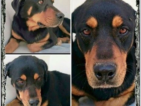 Does Anyone Recognize This Dog Rottweiler Rescue Dogs Animal Help