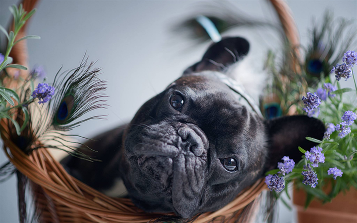 Download Wallpapers French Bulldog Small Black Dog Pets Cute Animals Dogs Brindle French Bulldog White French Bulldog Puppies French Bulldog