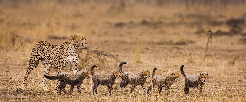 Cheetah mom and cubs