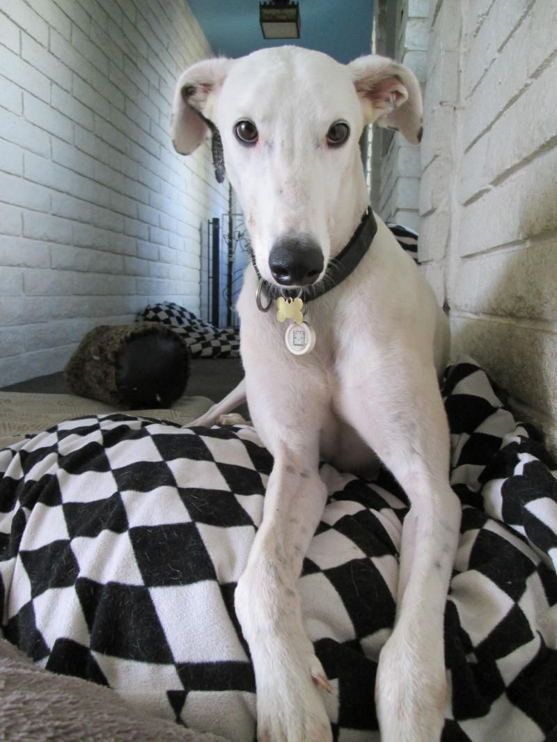 ADOPTED!!! Meet Chief! He's up for adoption in Flagstaff