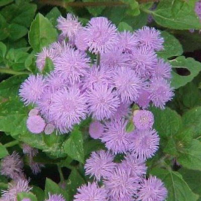 Mosquito Repellant Plants Mother S Home Ageratum Floss Flower Mosquito Repelling Plants Plants Flower Care
