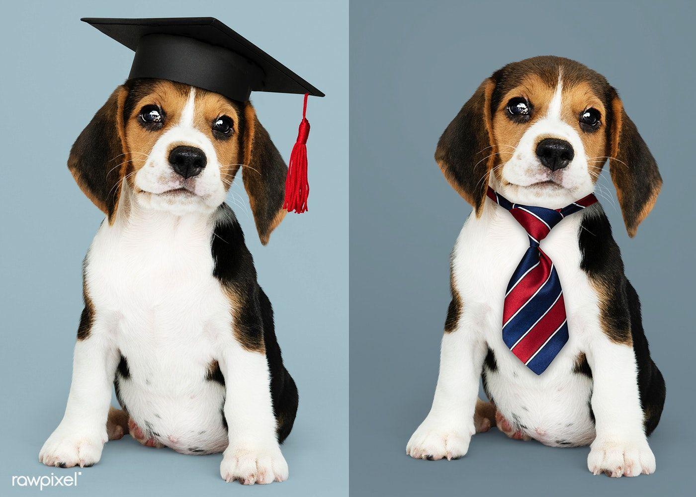 Download Premium Image Of Cute Beagle Puppies In Graduation Cap