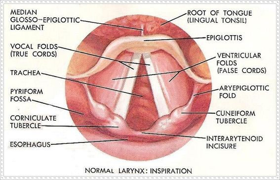 Great Image About The Vocal Cords Singers Should Take A