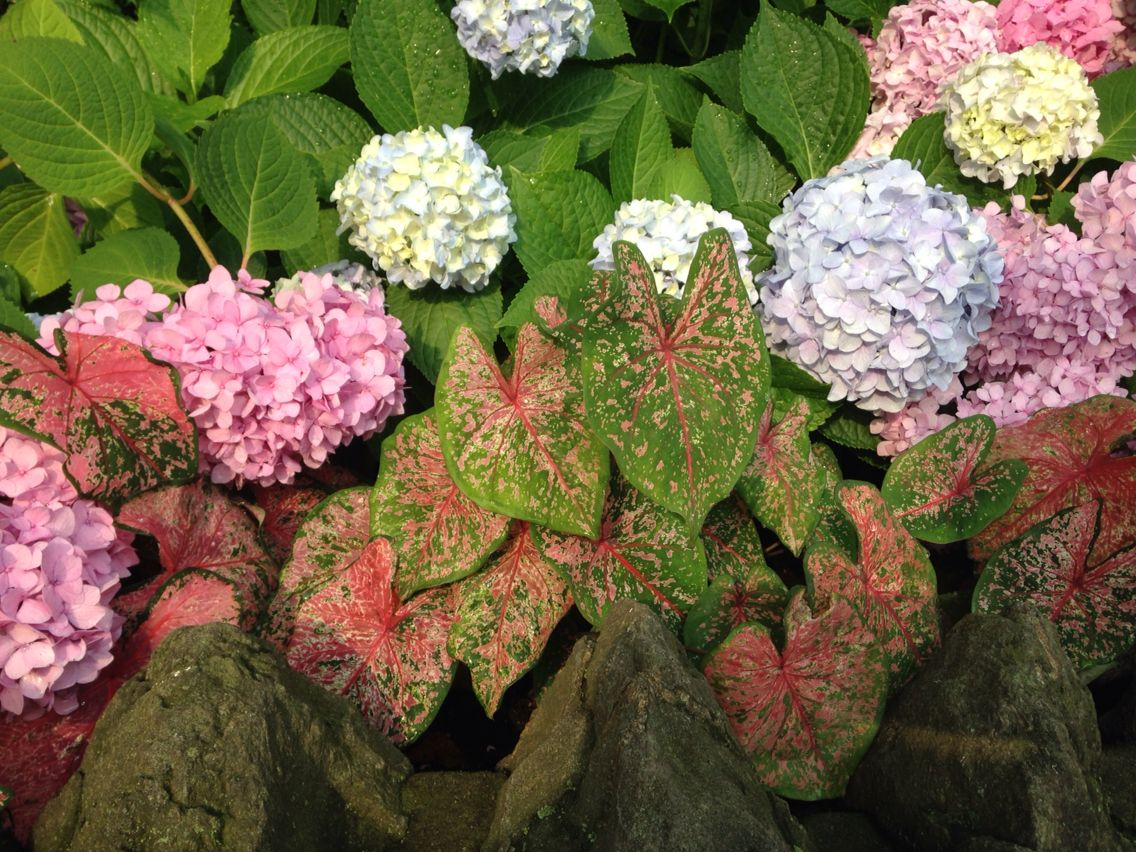Hydrangea macrophylla and Caladium. Planted by Laurel Hill Gardens, Philadelphia, PA