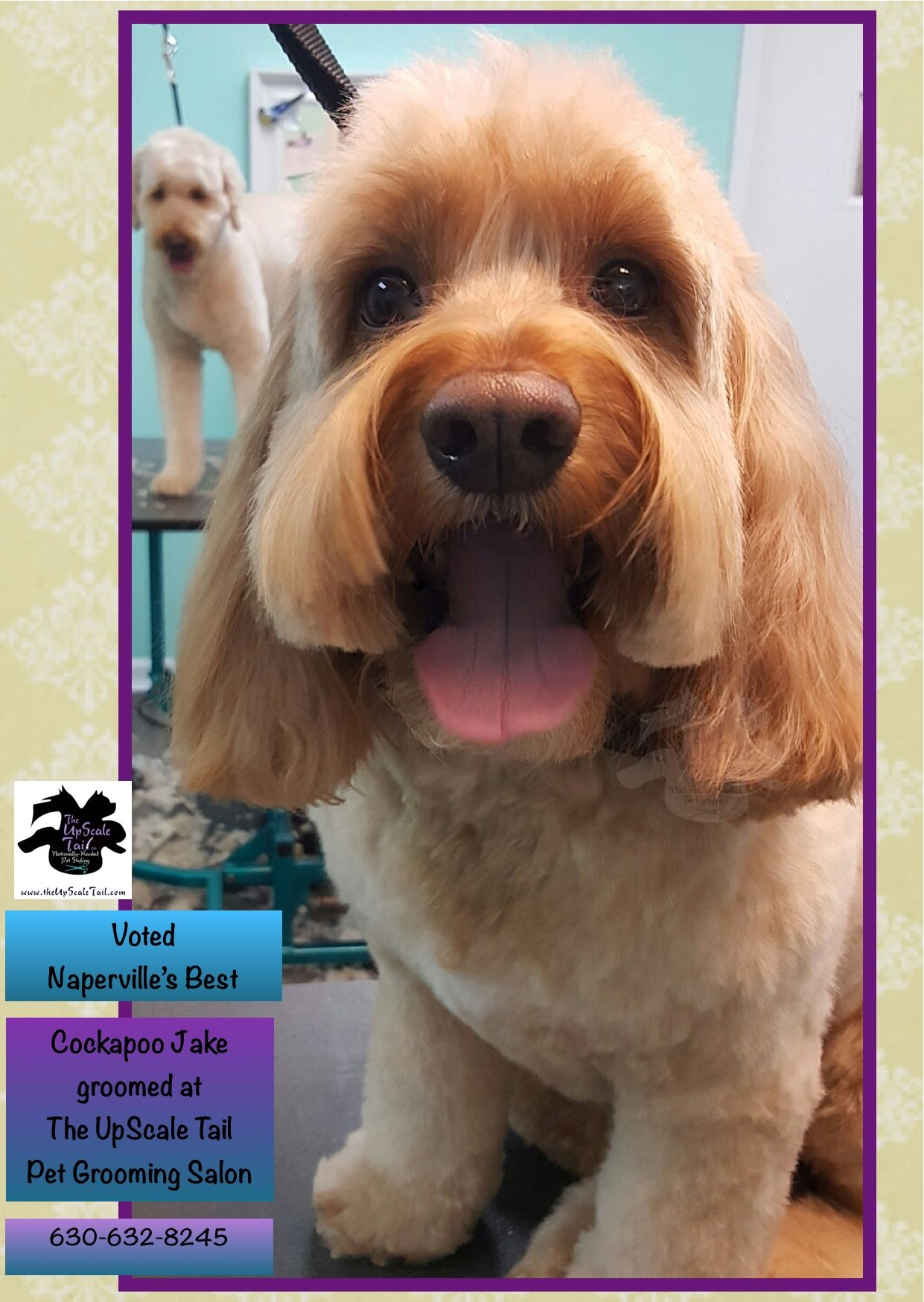 Cockapoo Jake is groomed at The UpScale Tail, Naperville