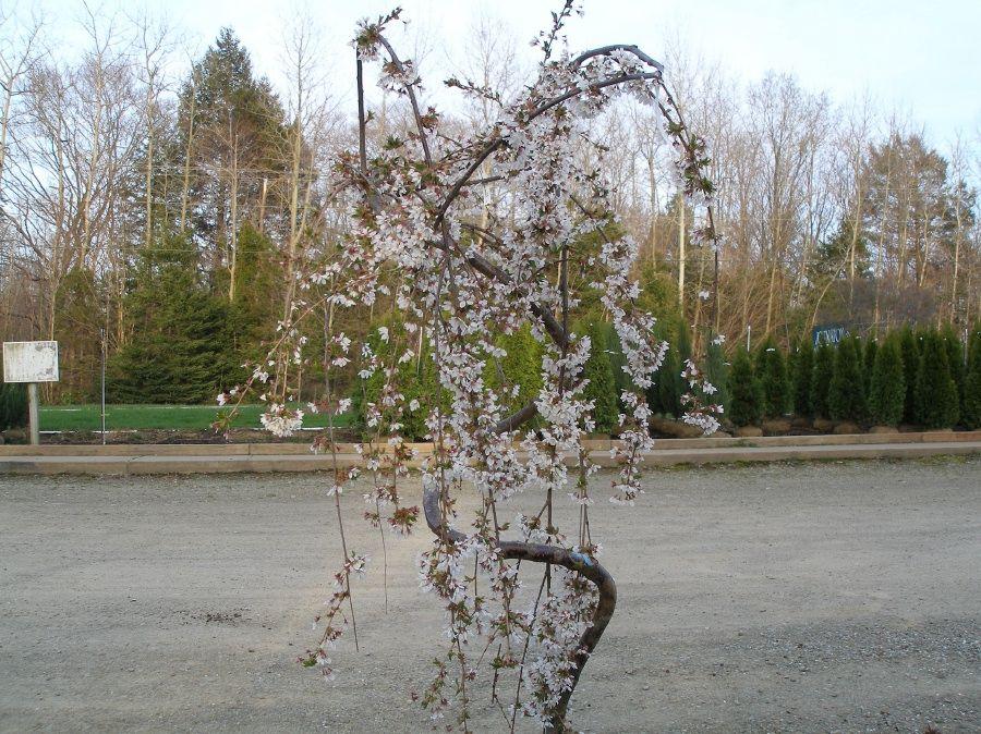 Flowering Trees Johnston S Evergreen Nursery Flowering Cherry Tree Evergreen Nursery Flowering Trees