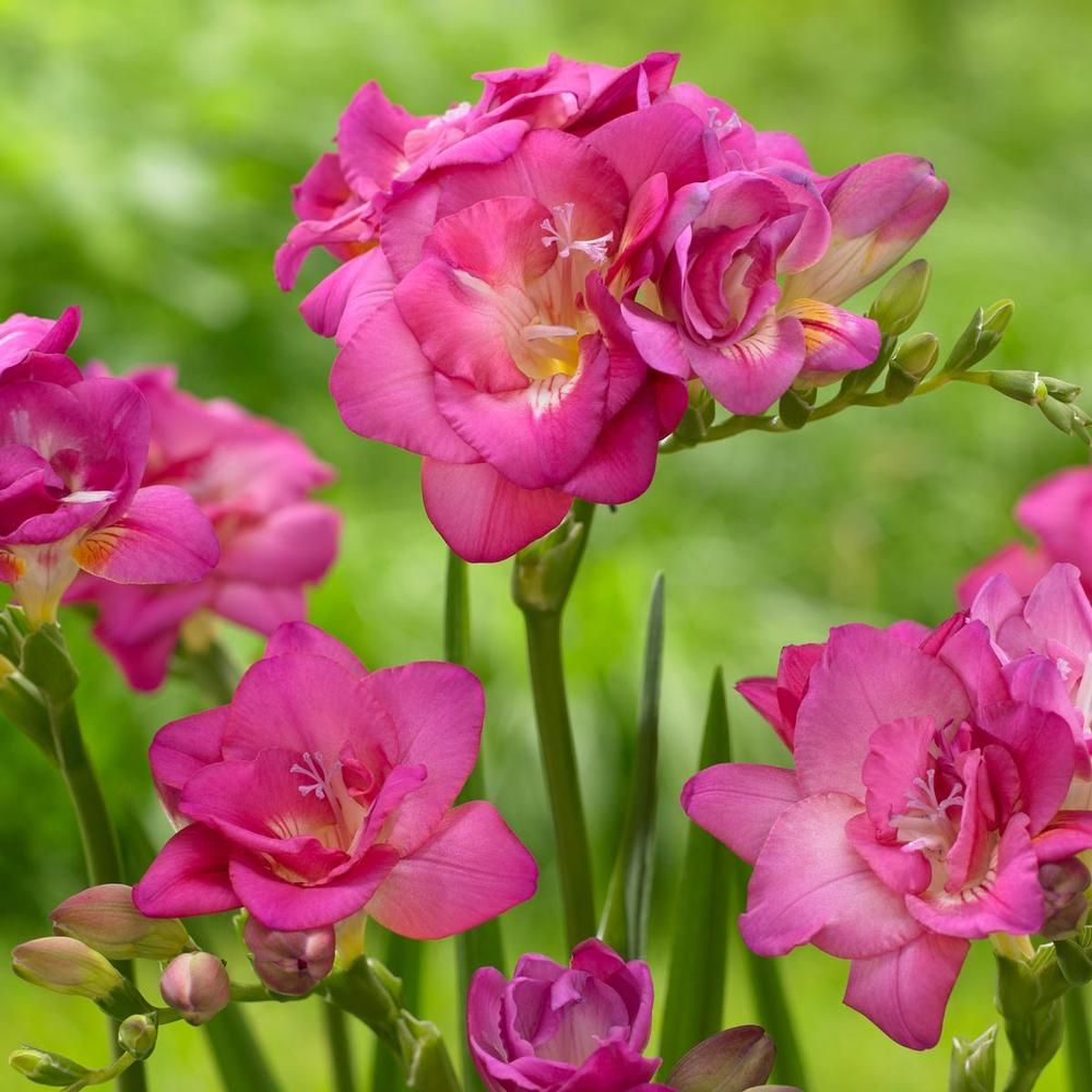 Freesia pink freesias are elegant flowers with long graceful freesia pink freesias are elegant flowers with long graceful stems and a wonderful fragrance we offer separate colors so you can choose your favorites mightylinksfo