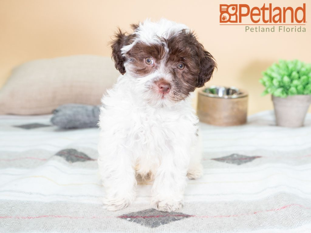 Puppies For Sale Puppy Friends Havanese Puppies For Sale