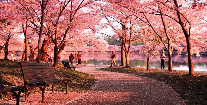 Bring the Kids: Washington DC's Cherry Blossom Festival - MiniTime