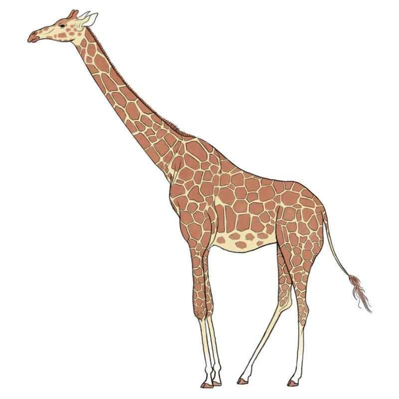 Giraffe キリン 麒麟 Free Illustration 無料素材 キリン キリン イラスト かわいい 無料 イラスト 素材