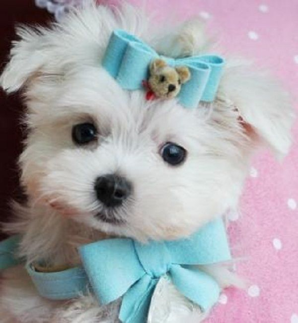Teacup Pomeranian Puppies For Sale In Texas Zoe Fans Blog
