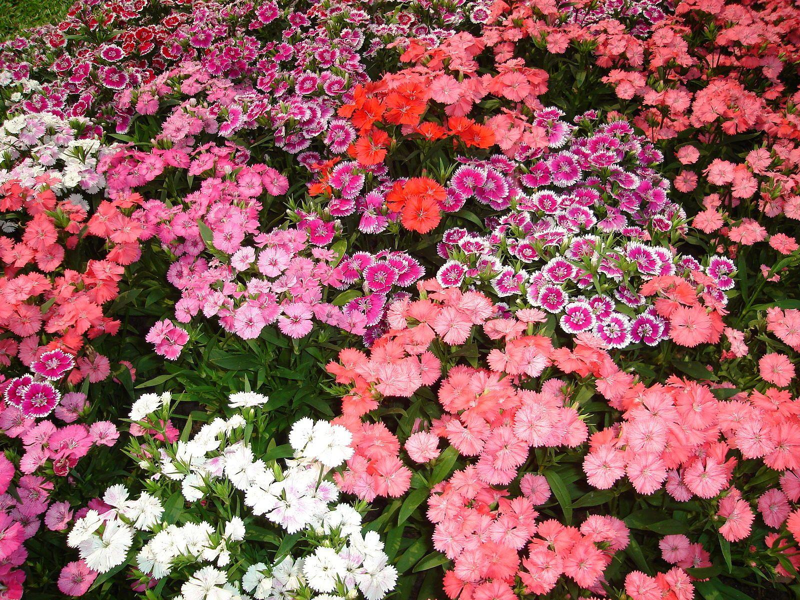 File:Flower Garden Found In Tak Thailand 1