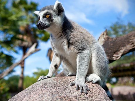 Know Our Stars: Lemurs | Busch Gardens Tampa Bay