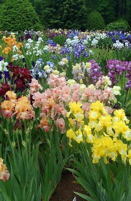 Gray S Iris Garden In Full Bloom In The Gardenin The Garden Iris Flowers Iris Garden Plants