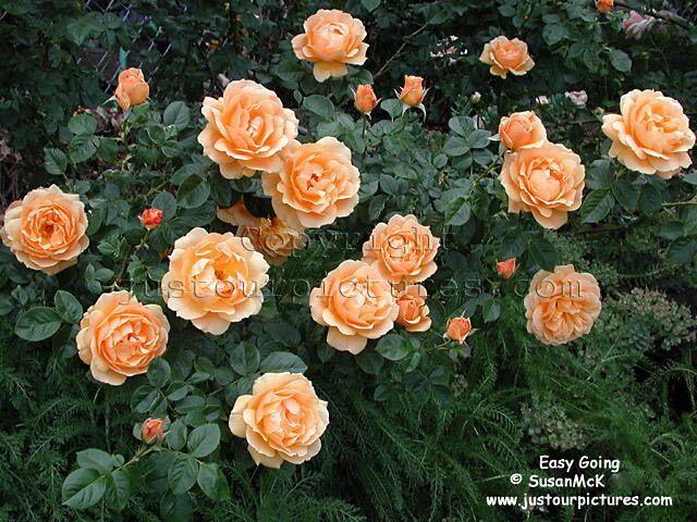 Easy Going Rose Bush Varietal Name Harflow Floribunda Sport Of Livin Easy Witch Garden Rose Pictures My Secret Garden