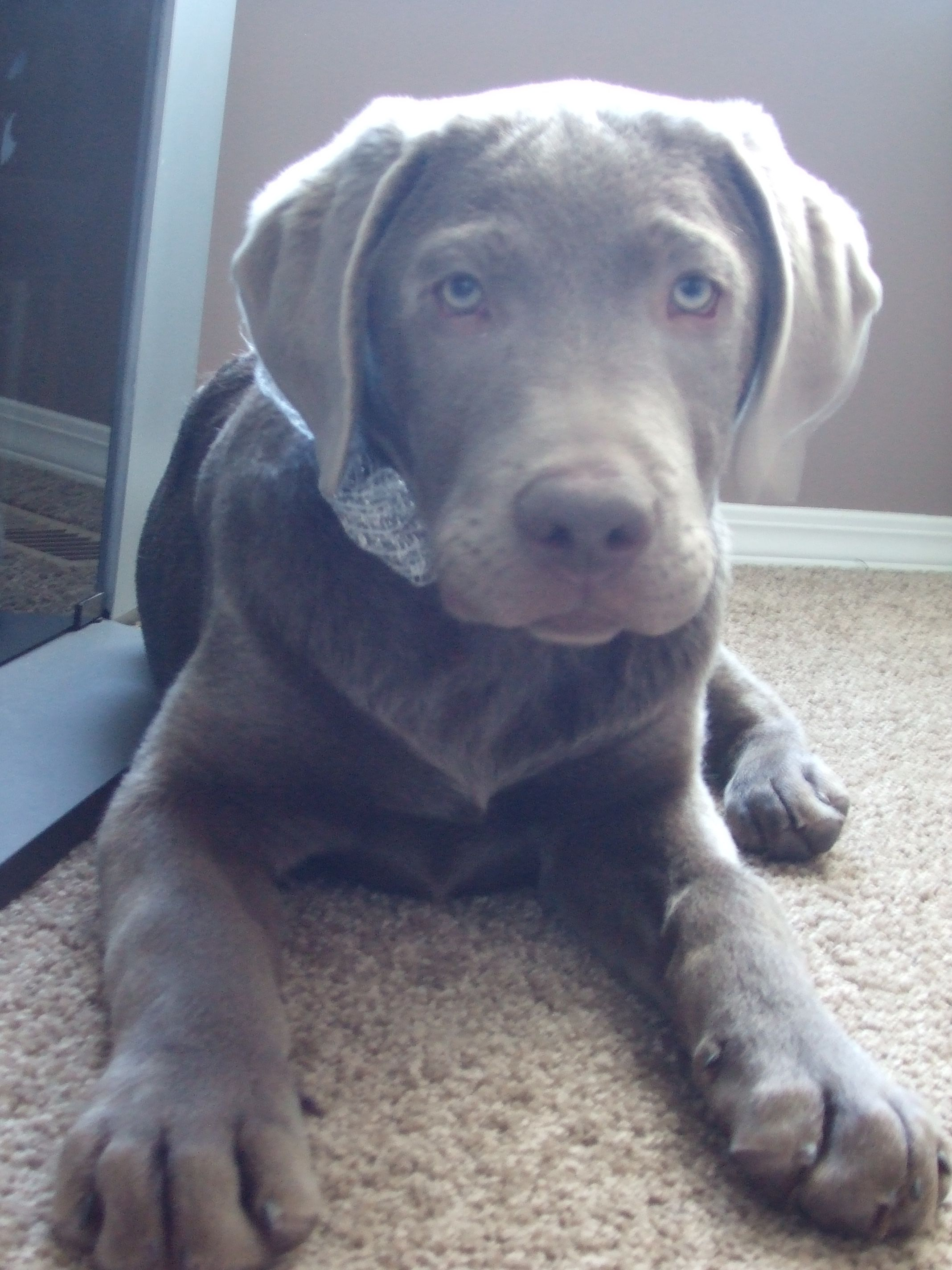 My Daughter S Silver Lab Pup Max Note The Size Of His Paws Lab Puppies Pup Silver Labs