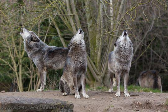 Howling Timberwolves By Peter Weimann Animals Beautiful