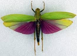 grasshopper with purple wings - Google Search