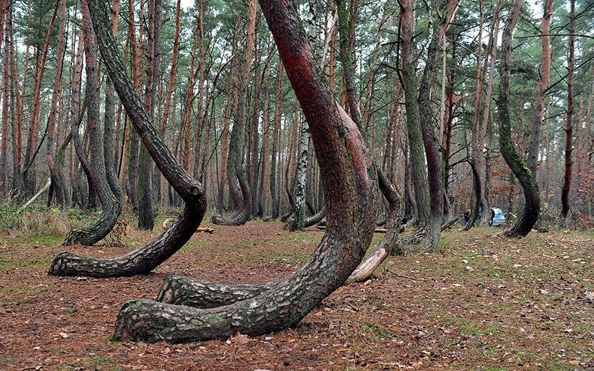 Pictures Of The Day November Bigfoot Sasquatch - To this day the mystery of polands crooked forest remains unexplained