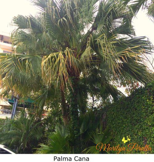 Sabal Causiarum ( Palma Cana)
