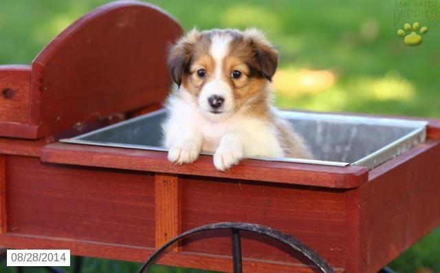 Shetland Sheepdog Puppy For Sale In Pennsylvania Shetland