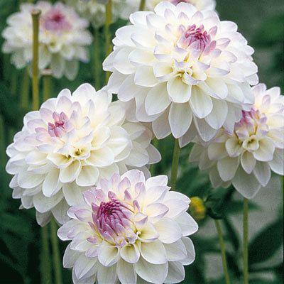dahlie 39 eveline 39 in k bel pflanzen erledigt a flowers close up pinterest k bel. Black Bedroom Furniture Sets. Home Design Ideas