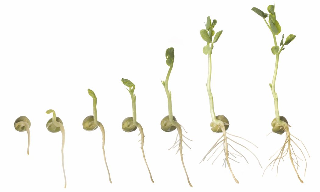 germination in plants Concepts germination is the awakening of a seed (embryo) from a resting state it involves the harnessing of energy stored within the seed and is activated by components in the environment.