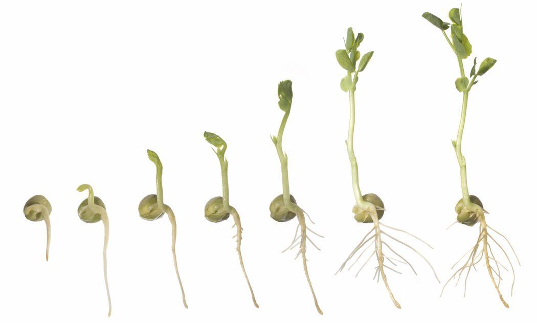 Germination in plants