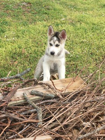 Siberian Husky Puppy For Sale In Joplin Mo Adn 27460 On