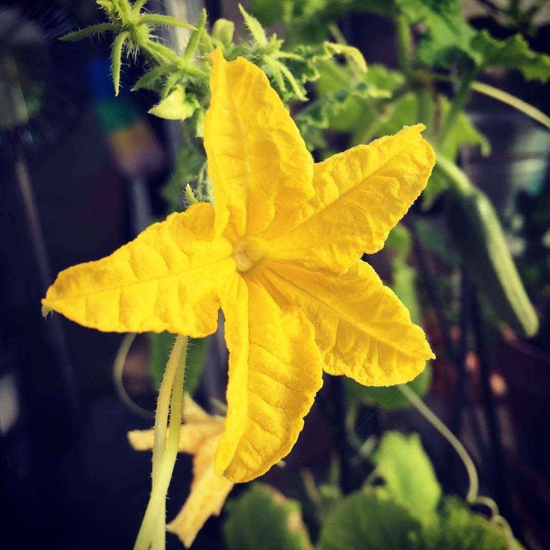 Yellow Flower On My Cucumber Vine Flowersofinstagram Flowermagic