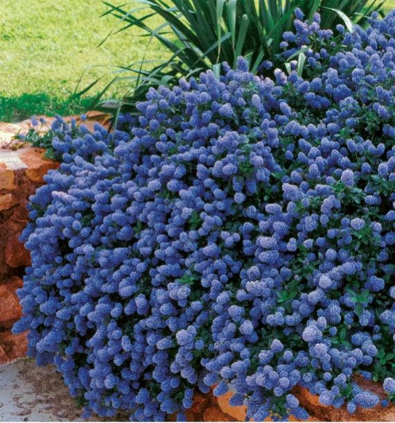 CEANOTHUS REPENS, plante en ligne   Arbuste, Arbuste en ...