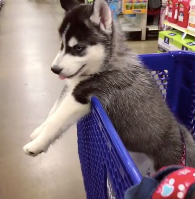 17 Pictures Of Siberian Huskies That Will Warm Your Doggy Loving