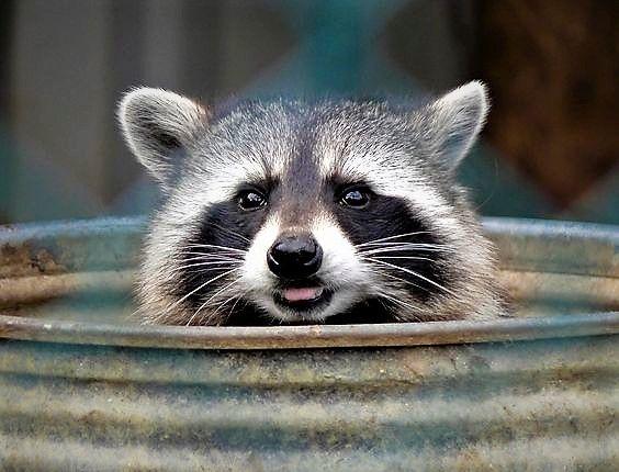 Raccoon In The Trash Can A Familiar Sight Raccoon Animals Raccoon Funny