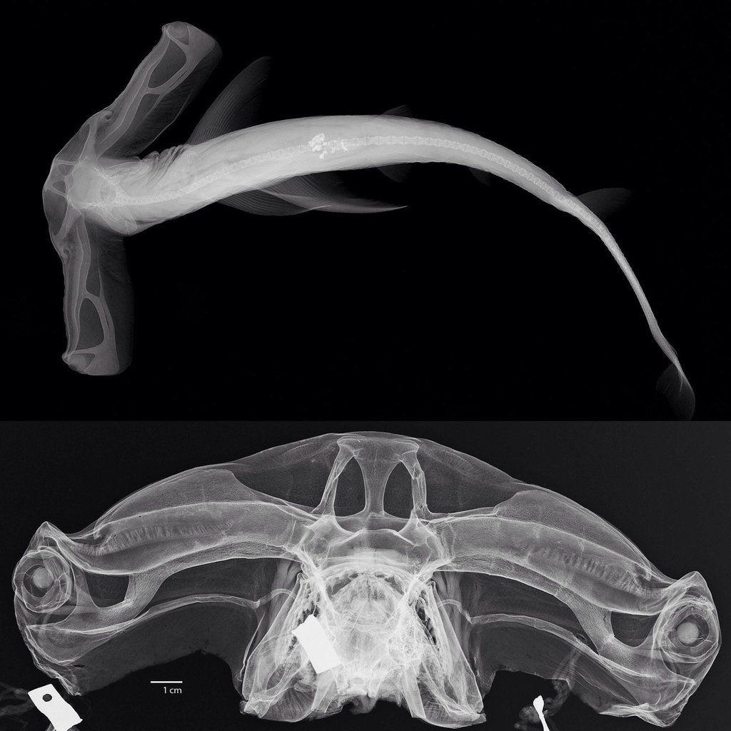 Hammerhead Shark X-Ray | Marine Animals | Pinterest | Hammerhead ...
