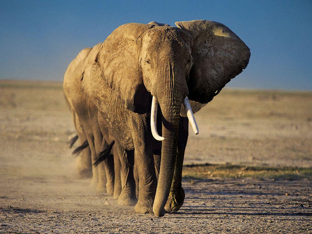 Elephant HD Wallpaper High Quality Wallpaper Elephant