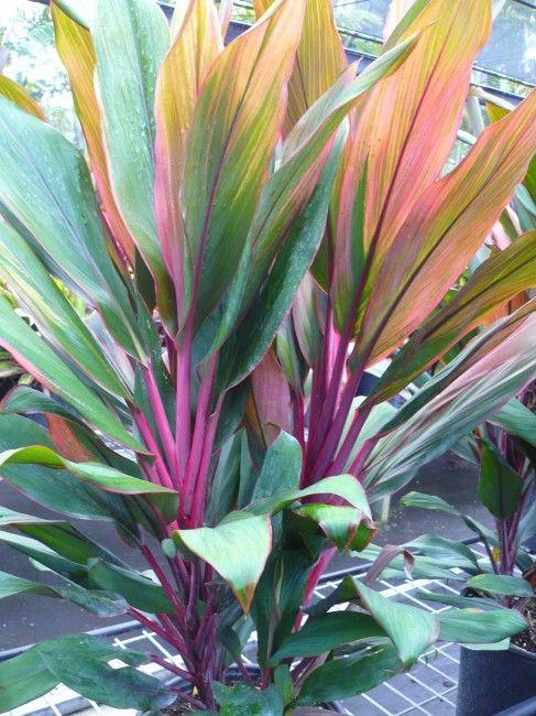 Cordyline Fruticosa Jackie Plants Front Yard Garden Design Cool Plants