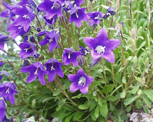 Campanula Campanula Is One Of Several Genera In The Family Campanulaceae With The Common Name Bellflower It Takes I June Wedding Flowers Perennials Campanula