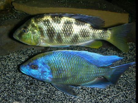 Nimbochromis Venustus African Cichlids Cichlids Malawi Cichlids