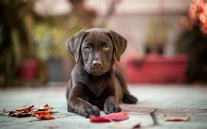 puppy, chocolate labrador, dogs, retriever, cute animals