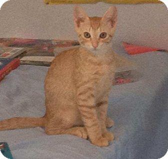 Manchester Ct Domestic Shorthair Meet Theo A Kitten For Adoption Http Www Adoptapet Com Pet 11409441 Manche Kitten Adoption Pet Adoption Pets